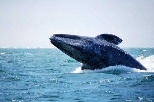 ballenas-en-Loreto,-BCS