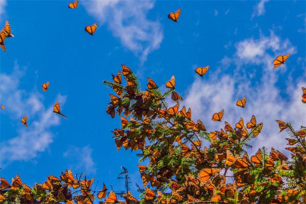 mariposas-monarcas