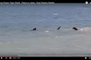 perro-vs-tiburon