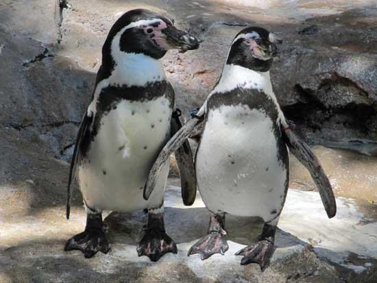Pingüinos-de-Humboldt