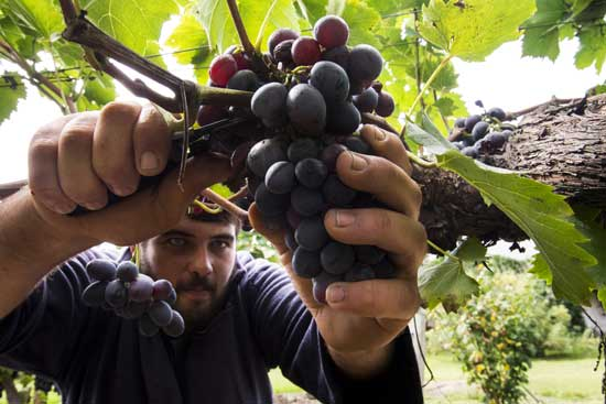 sembrando-uva