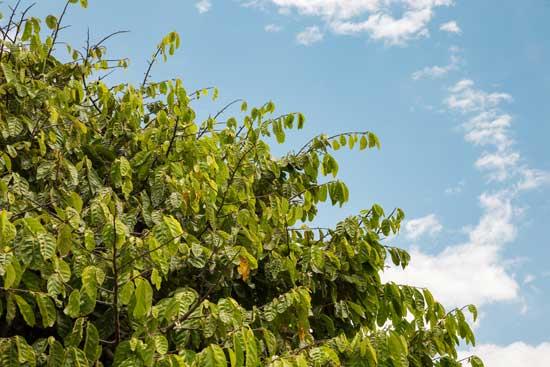 árbol rosital