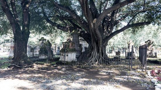 El árbol del vampiro en el Panteón de Belen en Guadalajara