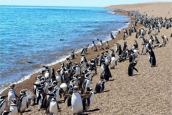 colonias de pinguinos