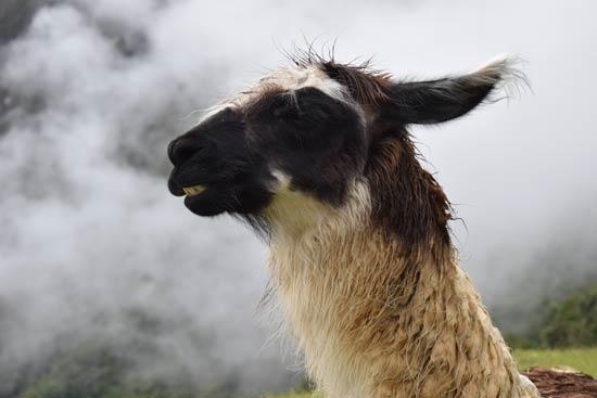 Una llama en Cuzco