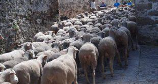 Ovejas en el pueblo de Oncala