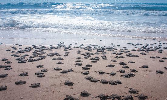 Elota tortugas