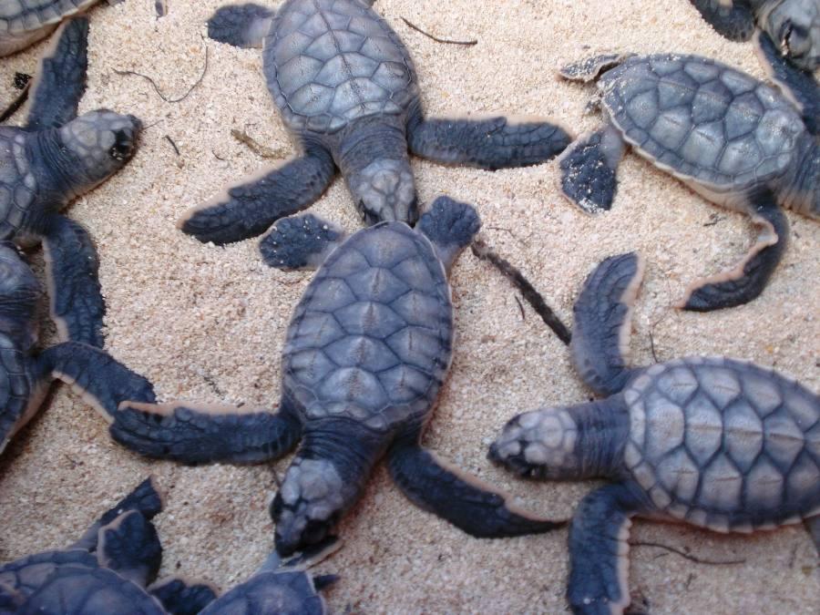 temporada de tortuga marina en Cozumel 2