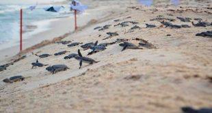 temporada de tortuga marina en Cozumel