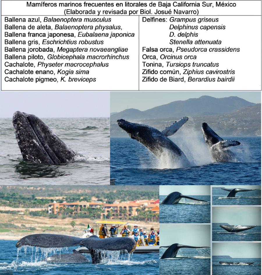 Fauna marina en BCS