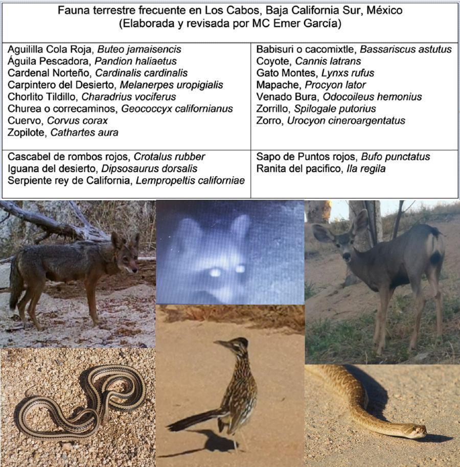 Fauna terrestre en los Cabos