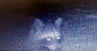 mapache captado en LC