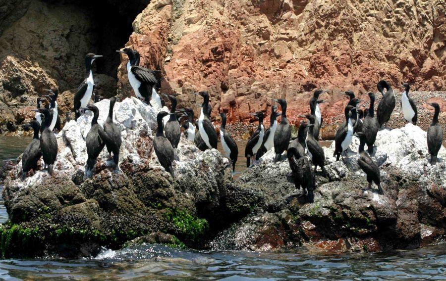 Islas Ballestas aves