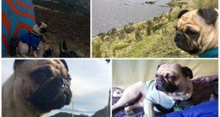 Collage de Pug de viaje