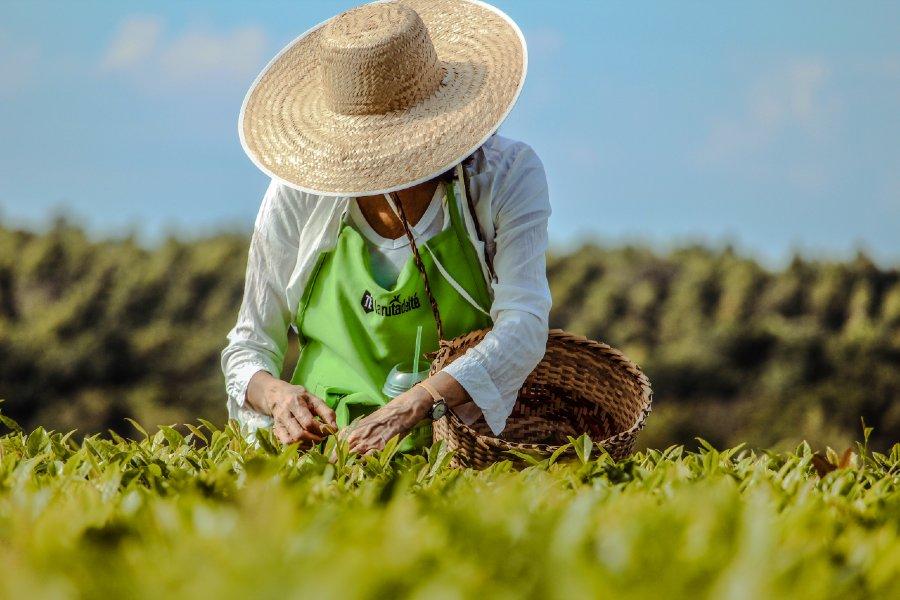 Ruta del Té cosecha de hojas té