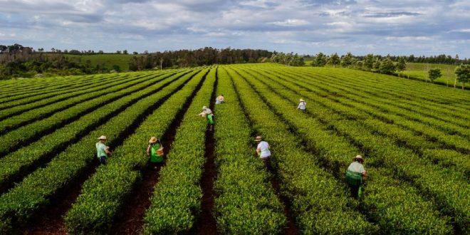 Ruta del Té cosecha de té