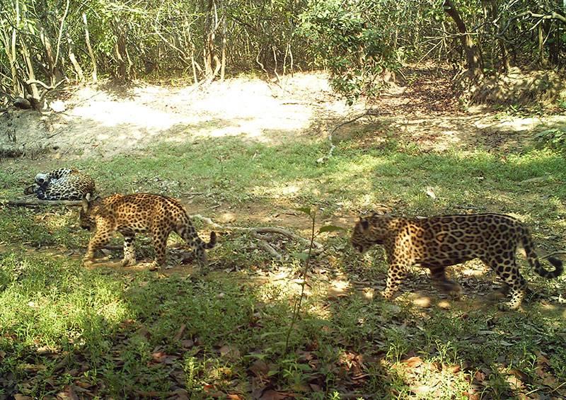 Jaguares en Hato La Aurora