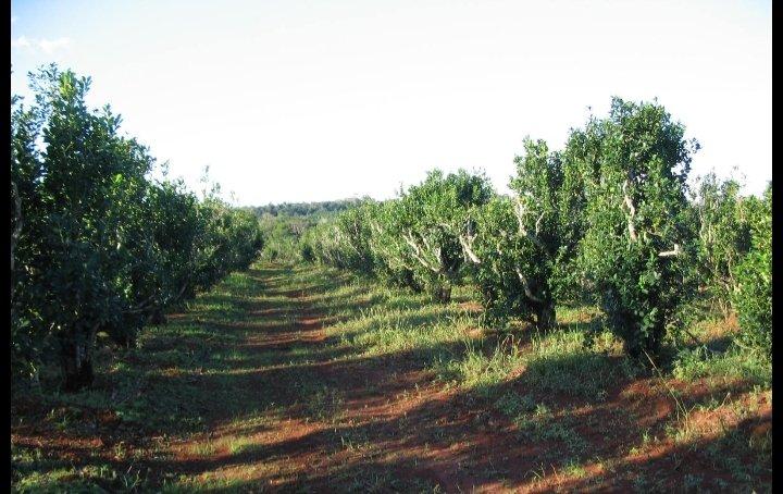 La Ruta de la Yerba Mate, plantaciones-tierra roja