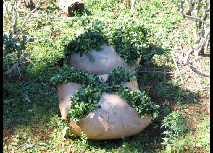 La Ruta de la Yerba Mate ponchada de yerba mate para su traslado al secadero