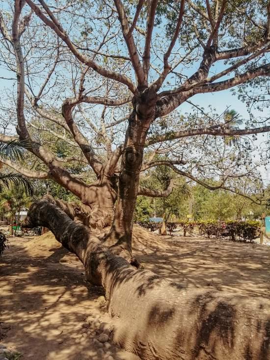 Árbol de la Ceiba en La Antigua